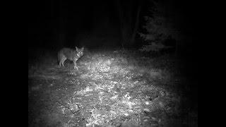 Le loup-coyote: un nouvel animal sur la côte Est de l'Amérique du Nord.