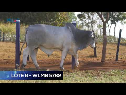 LOTE 6 - WLMB 5782 - BRAHMAN