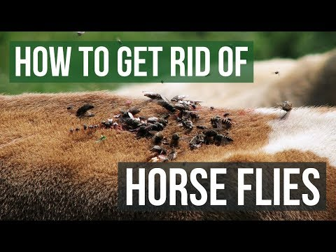 How To Get Rid Of Horse Flies (4 Easy Steps)