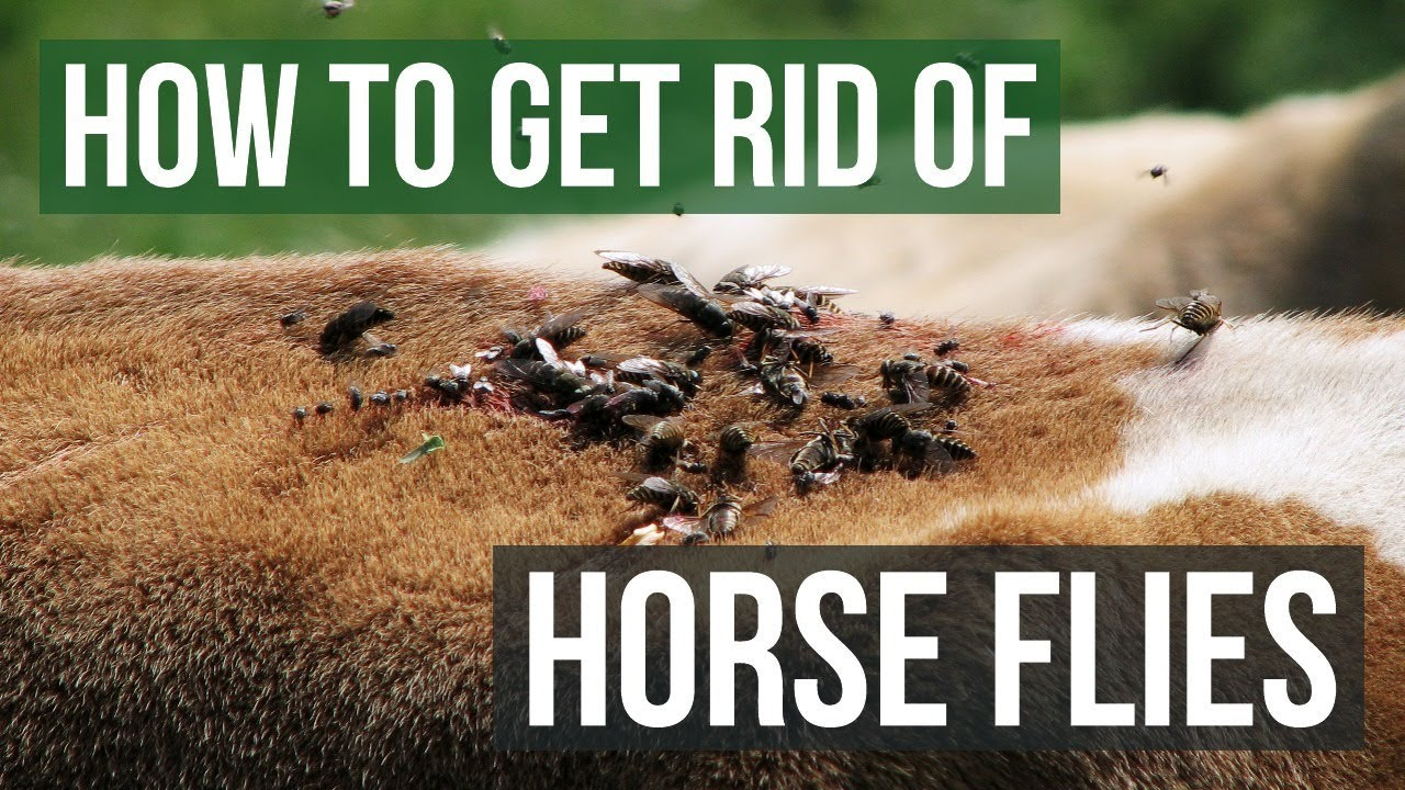 Download How to Get Rid of Horse Flies (4 Easy Steps)