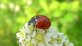 Футажи для видеомонтажа. Божья Коровка насекомое. Видео с насекомыми. Футажи Лето(Автор: Александра Лихачёва. http://positivecreativ.ru Футажи для видеомонтажа бесплатно: https://www.youtube.com/playlist?list=PLiC3Oer4R1YF4Px_..., 2014-04-22T03:54:08.000Z)
