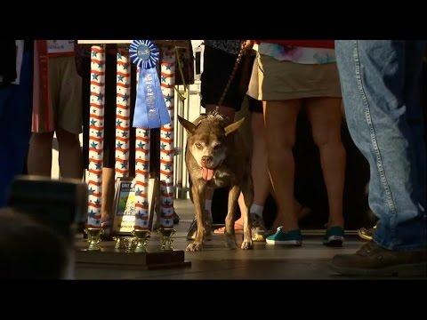 Quasi Modo Crowned World's Ugliest Dog   Good Morning America   ABC News