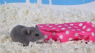 Day 5: A Present for Porkchop - Cute Hamsters: 12 Days of Christmas