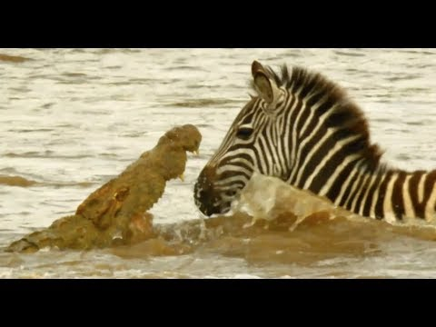 Serengeti - Shani the Zebra & her foal battle against the raging river & crocodiles