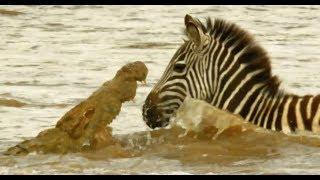 Serengeti - Shani the Zebra & her foal battle against the raging river & crocodiles
