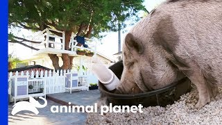 Mr Pickles The Pig Gets His Own Playpen! | Animal Cribs