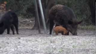 Florida Hog Hunts - Cypress Ridge Hunting