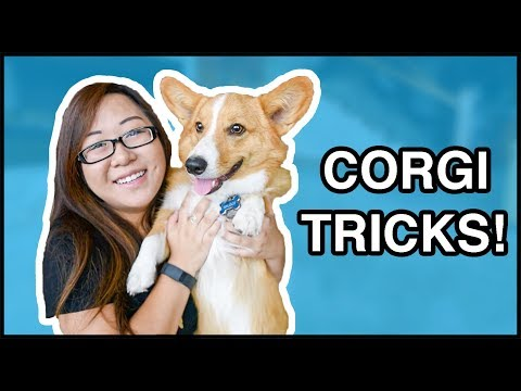 Corgi Puppy Tricks & Tips | ft. Sploot!
