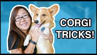 Corgi Puppy Tricks & Tips | ft. Sploot!