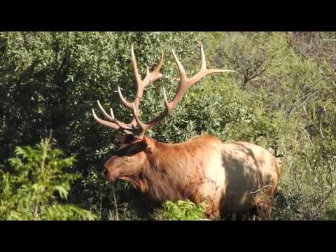 2016 ELK HUNT AMAZING FOOTAGE