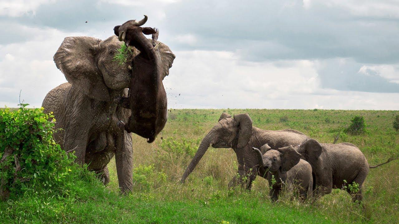 Download Angry Elephant Attacks BuffaloㅣBuffalo vs King LionㅣWild Animal Attacks