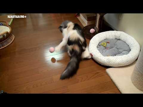 猫サッカー Ragamuffin cat KOBAN is good at playing alone