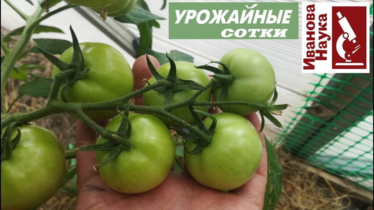 Нет завязей на томате? Как не совершить очень коварную ошибку и не снизить урожай?