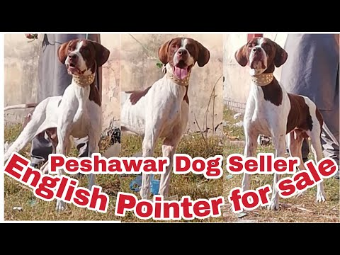 English Pointer Male For Sale Age 16 Month Call And Whats app 03409551555