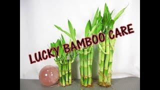 लकी बैम्बू की केयर कैसे करें | हिंदी में | How to Take Care of Lucky Bamboo in Hindi