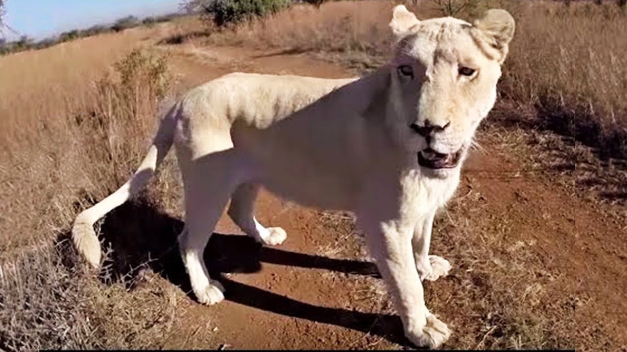 goodbye-ishca-the-lion-whisperer