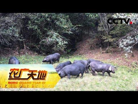 《农广天地》母猪平均产仔数高达15头 个别的母猪产仔数高达21头 它就是米猪 20190116CCTV农业