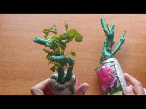 Как сохранить купленную розу до посадки