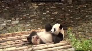Жизнь панды в зоопарке