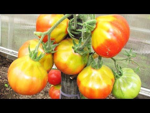 Почему у помидор желтое пятно у плодоножки