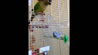 Green Cheek Conure Making Kissing Noise