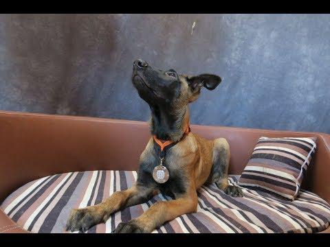Apollo - Belgian Malinois Puppy - 3 Weeks Residential Dog Training