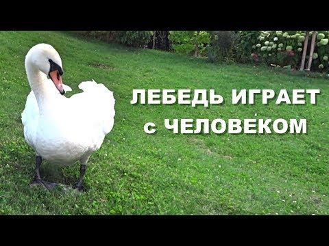 Лебедь играет с
