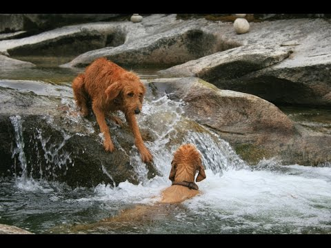 Camping with golden retrievers - Swimming in the Sierras