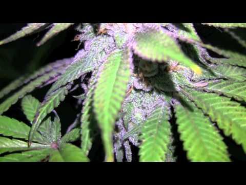 OMMPgrower Grape Ape WEEK 9