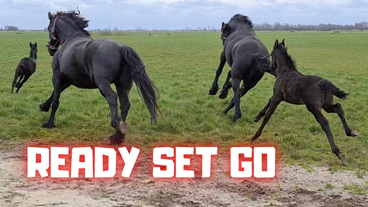 Ready Set Go. For the first time together in the pasture | Friesian Horses