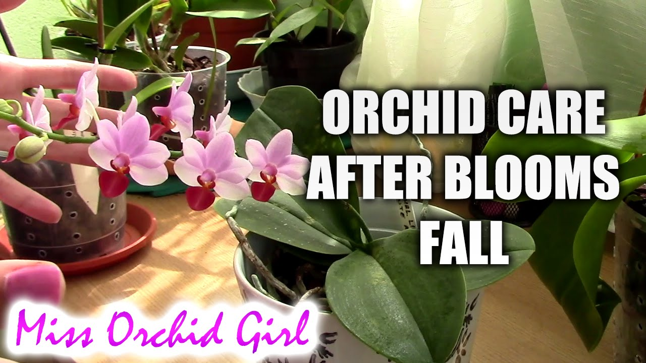 How to care for orchids after blooms fall