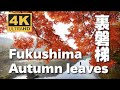 Autumn leaves in Urabandai, Fukushima by Discover Nippon pn YouTube