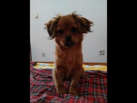 Funny Dog Buda(Tibetan Spaniel) Welcomes his family From work