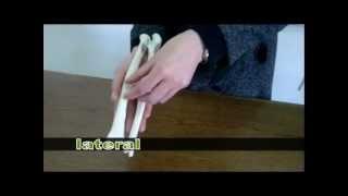 Bones of the Forearm: Ulna & Radius