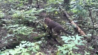 """""""Дикий лесной"""" кот ;)"""
