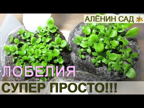 ПОСЕВ ЛОБЕЛИИ СУПЕР ПРОСТОЙ СПОСОБ!!! / Как очень просто посеять лобелию / Выращивание лобелии