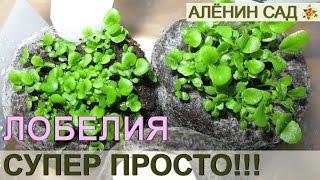 видео Лобелия - выращивание лобелии ампельной, каскадной из семян