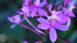 ALL ABOUT THE EPIDENDRUM ORCHIDS