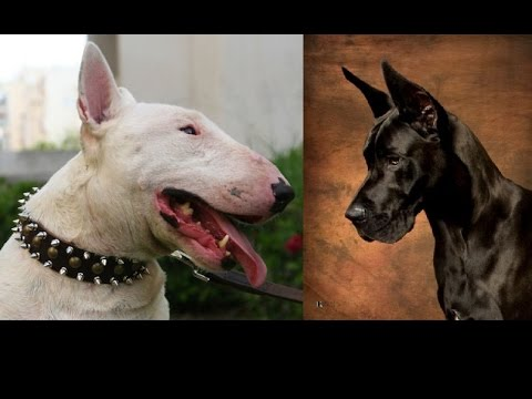 Bullterier vs Great Dane