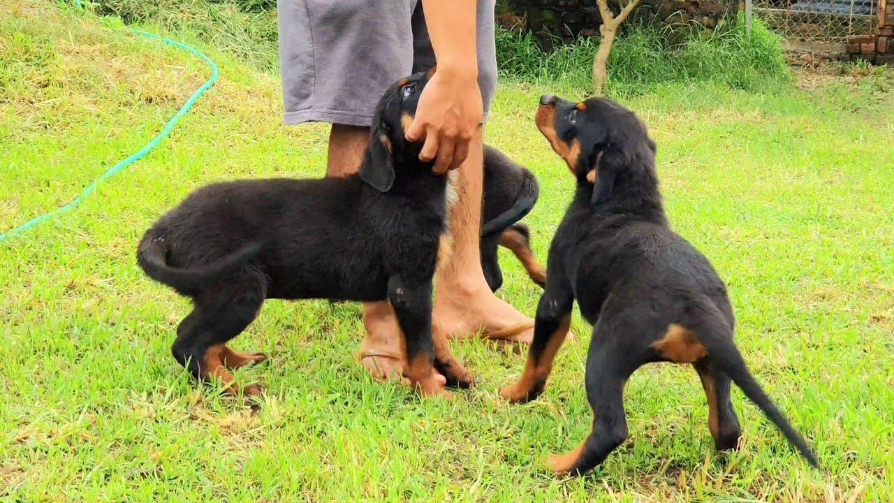 Chó con Rottweiler 2 tháng+