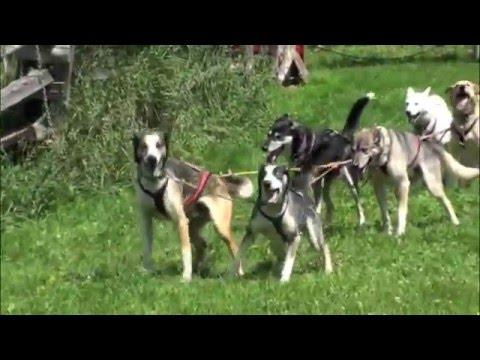 Dogsledding-On-Wheels at Eden Dogsledding!