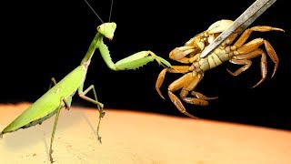 WHAT WILL BE IF THE MANTIS SEES THE LIVE CRAB - VERSUS OF THE CRAB (THE CRAB THE VAMPIRE)