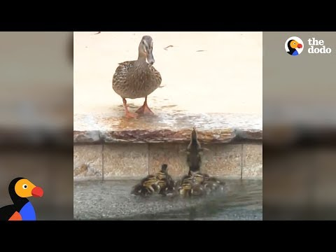 Duck Can't Stand It When Her Babies Get Stuck In A Pool | The Dodo
