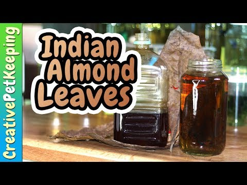 Indian Almond Leaves | The Secret To Healthier Betta Fish