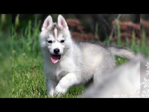SIBERIAN HUSKY PUPPY  Say Hello to  MEMPHIS