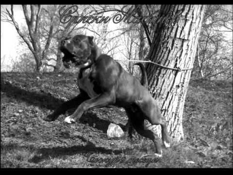 Serbian Mastiff Bozur (black & white story)