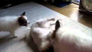 遊んでほしい子犬が成犬にワンワン。