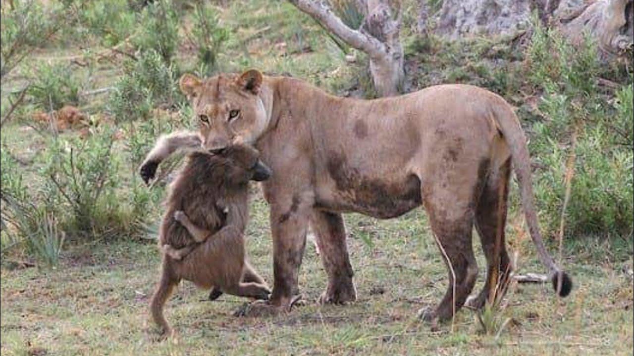 Львица схватила обезьяну с маленьким детёнышем, то что произошло дальше невероятно