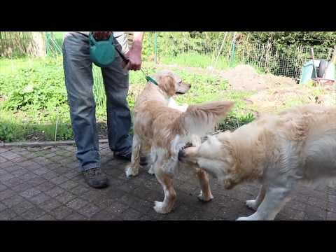 Golden Retriever successful mating/ Dekking Golden Retriever