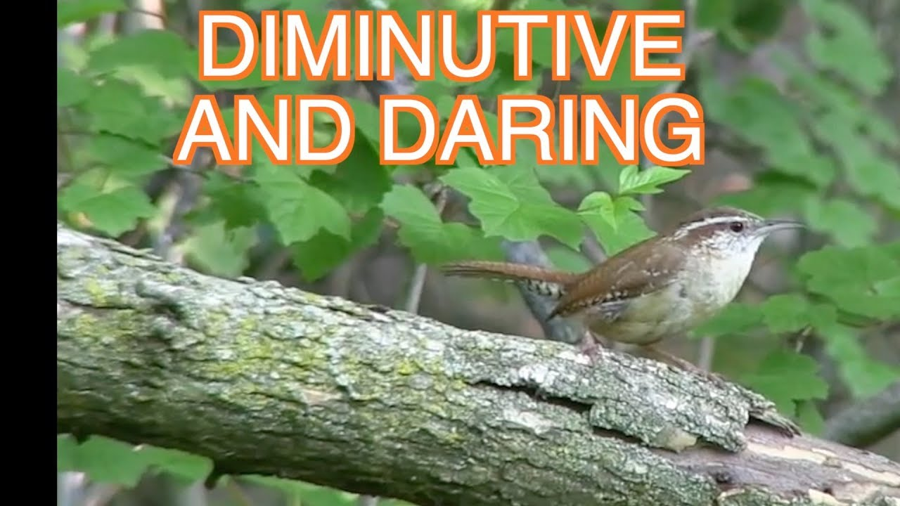 House Wrens and Carolina Wrens--NARRATED